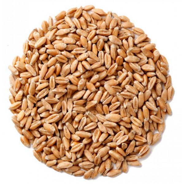 Эко пшеница, Шугуровское зерно